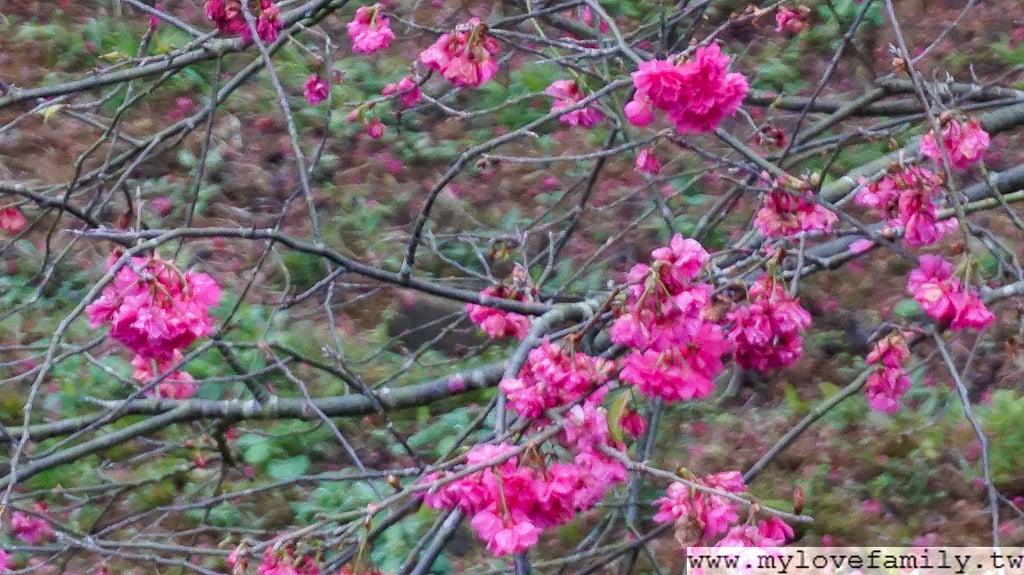 宜蘭櫻花季