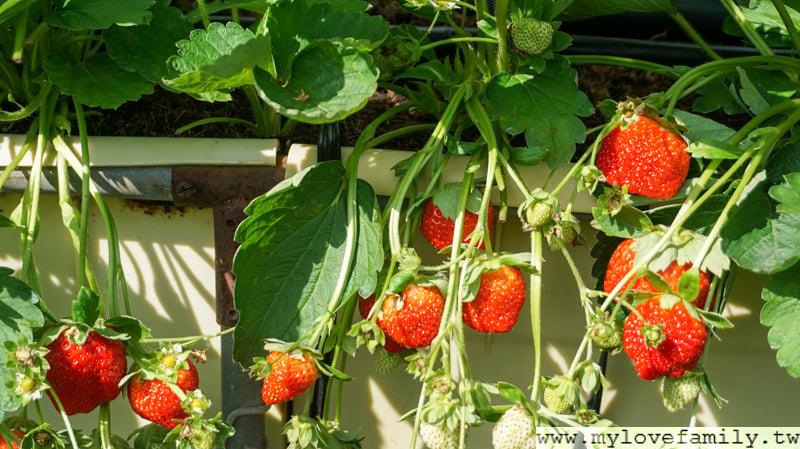 六合高架牛奶草莓農場